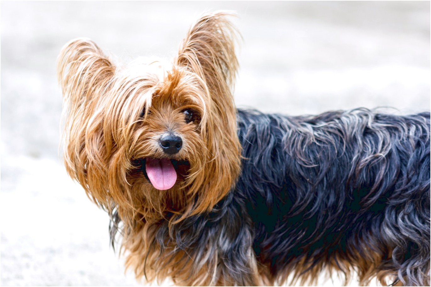yorkshire terriers up for adoption