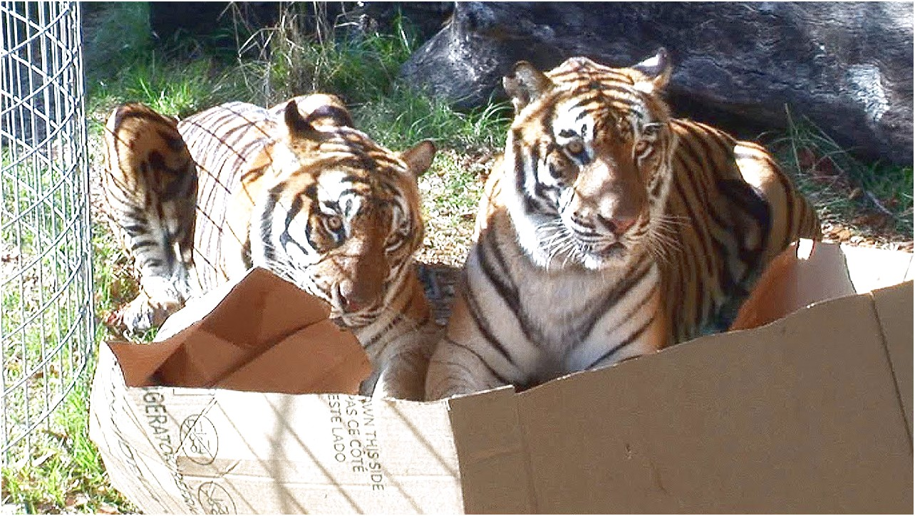 Big Cats In Boxes