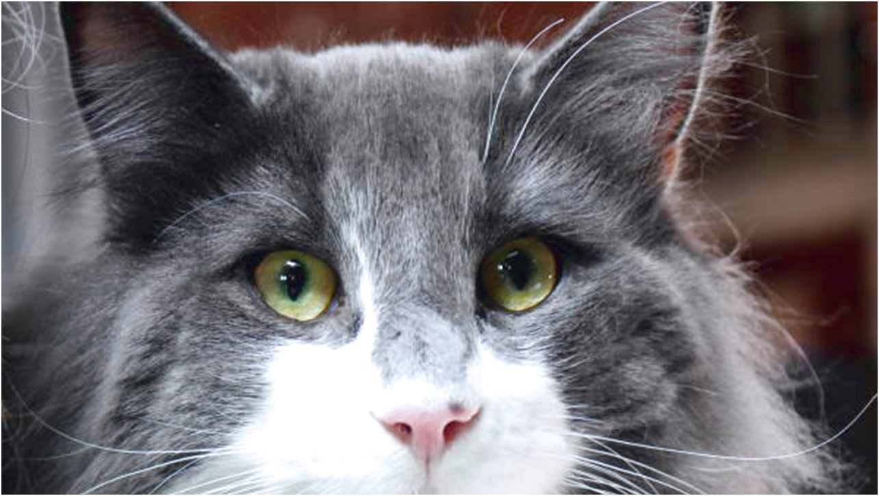 Cat Eye Discharge Home Remedy