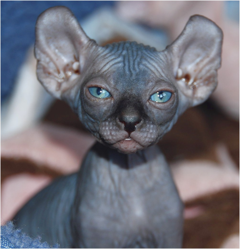 Hairless Cats For Sale
