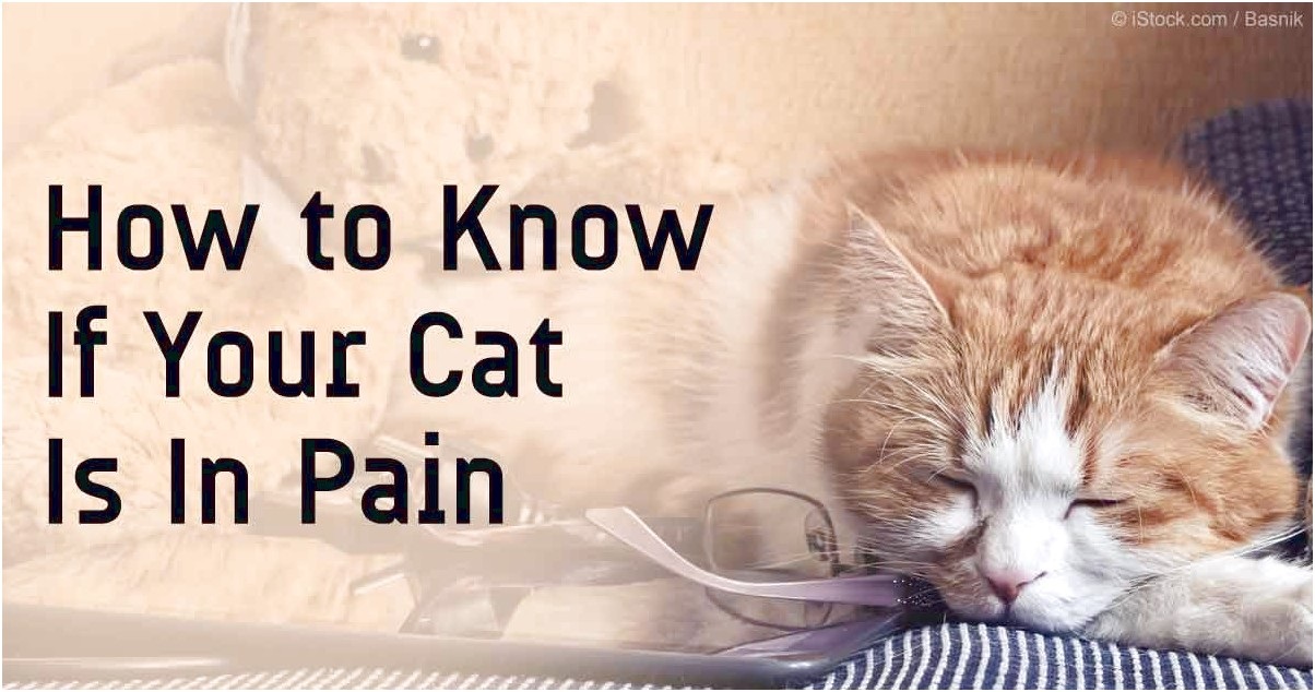 Pain Meds For Cats
