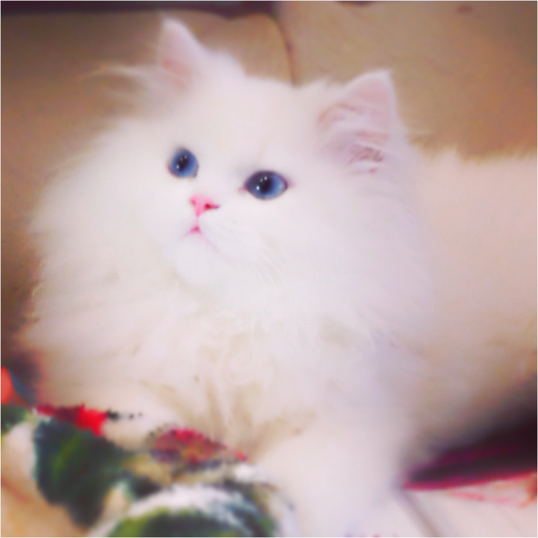 Persian Cats For Sale Near Me