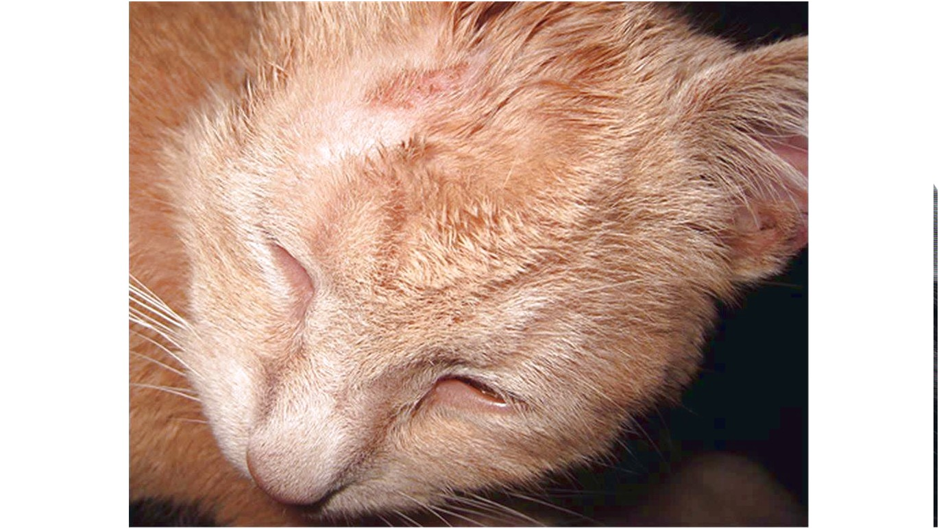Ringworm Medicine For Cats