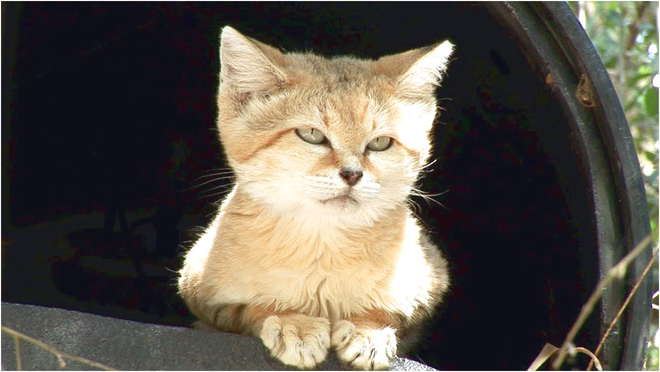 Sand Cats For Sale