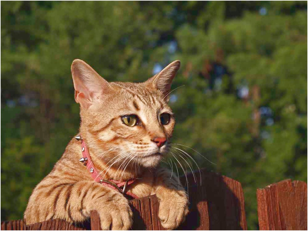 Shock Collar For Cats