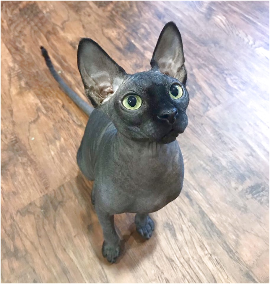 Sphynx Cats For Sale Near Me