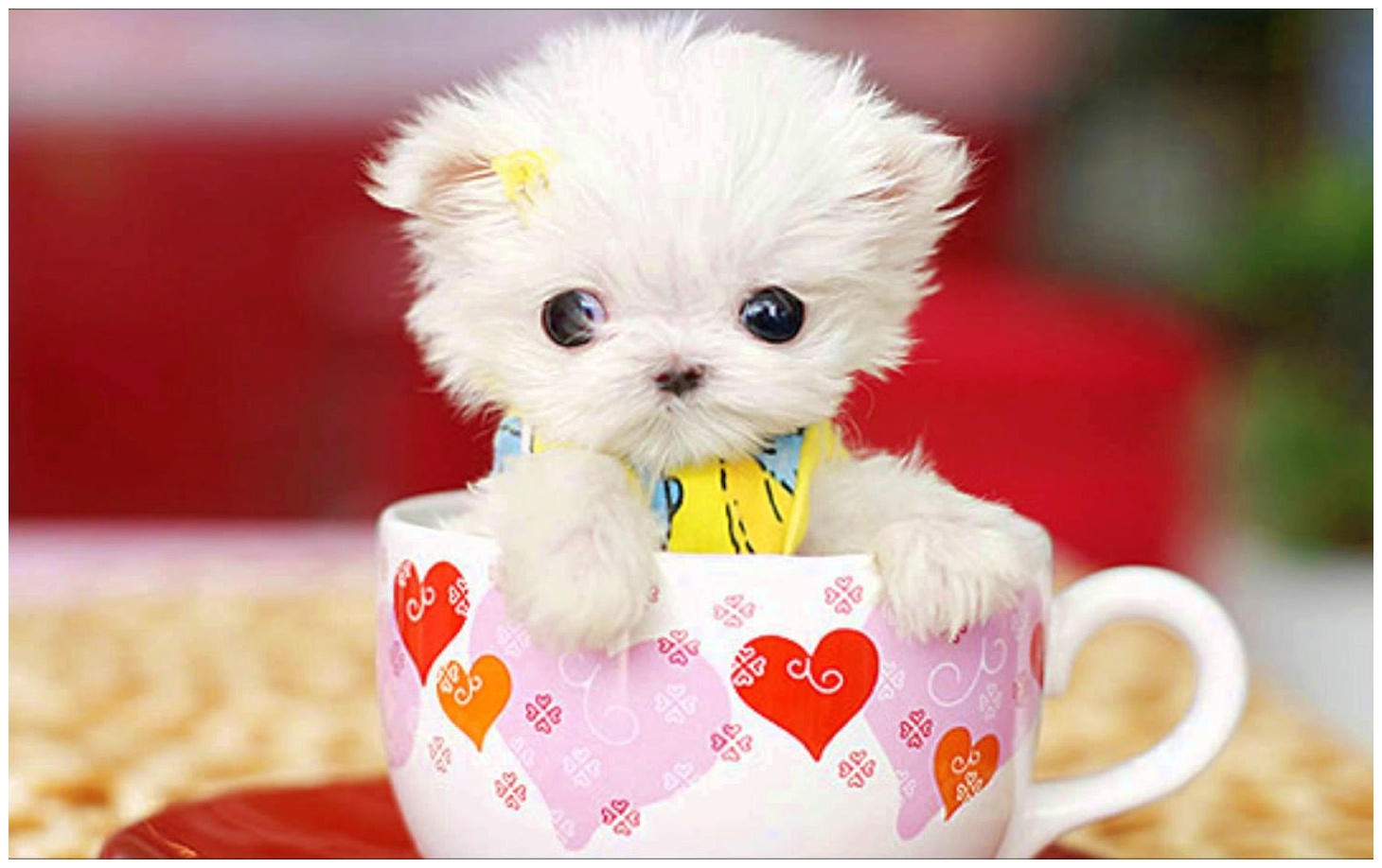 Tea Cup Maltese Puppies For Sale