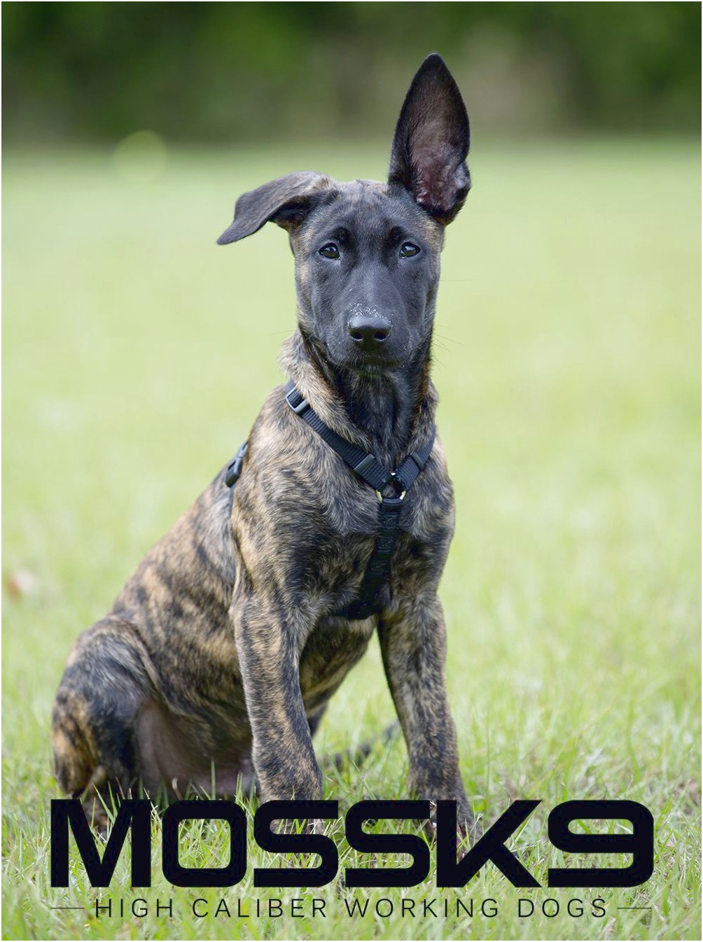 are military dogs trained in dutch