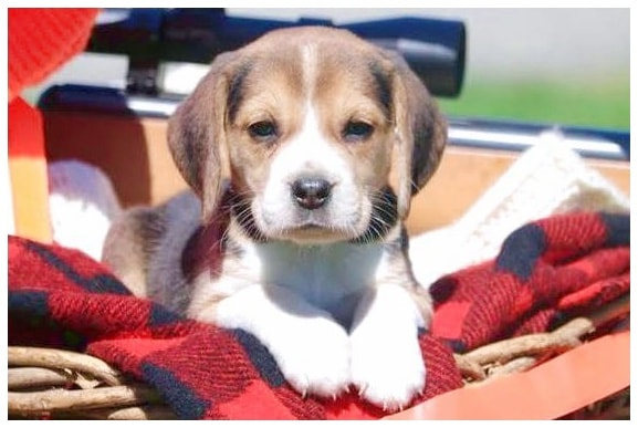 Beagle Puppies For Sale Near Lancaster Pa