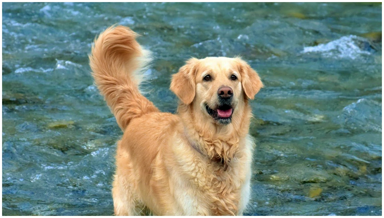 golden retriever scotland