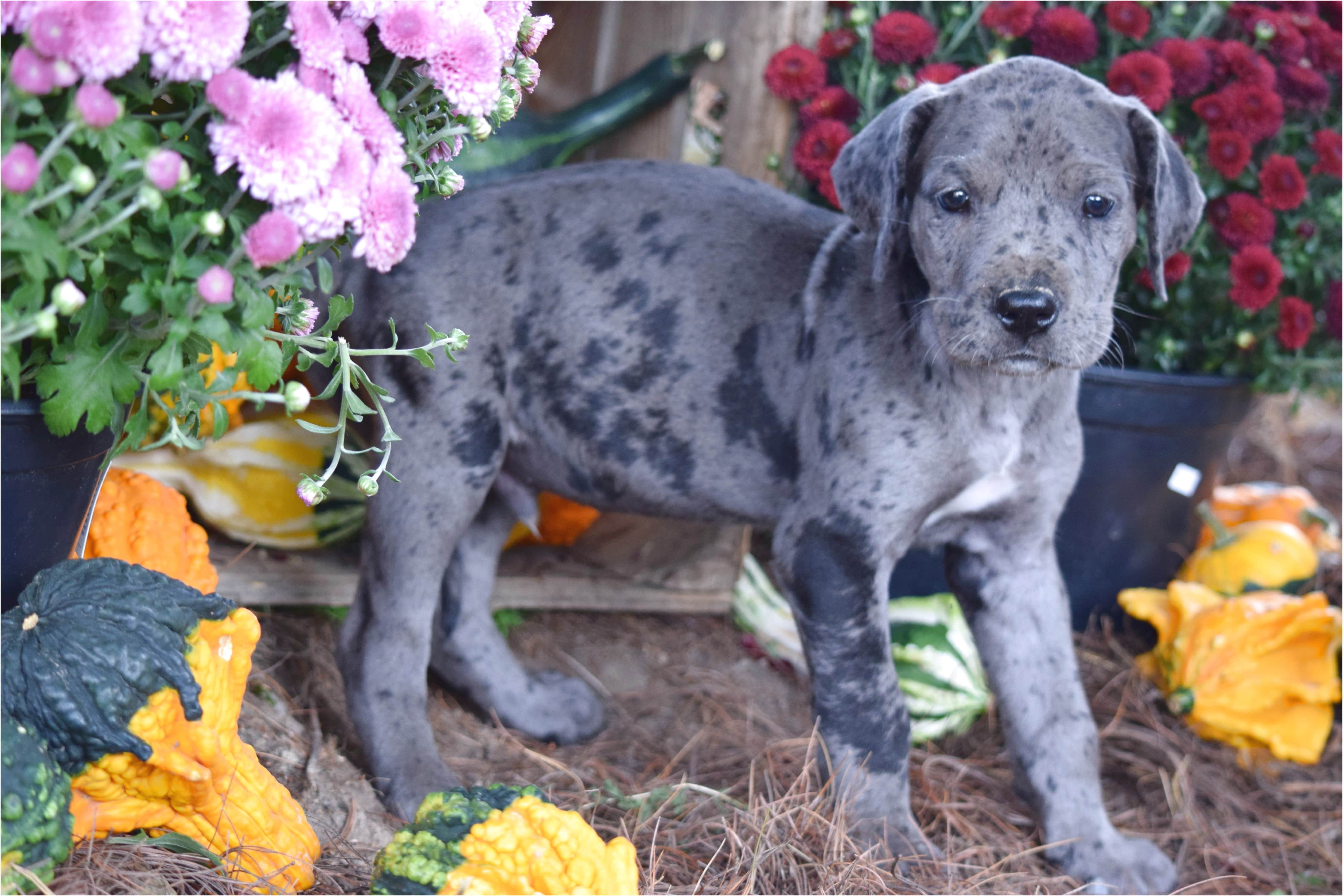 great dane puppies for sale ohio