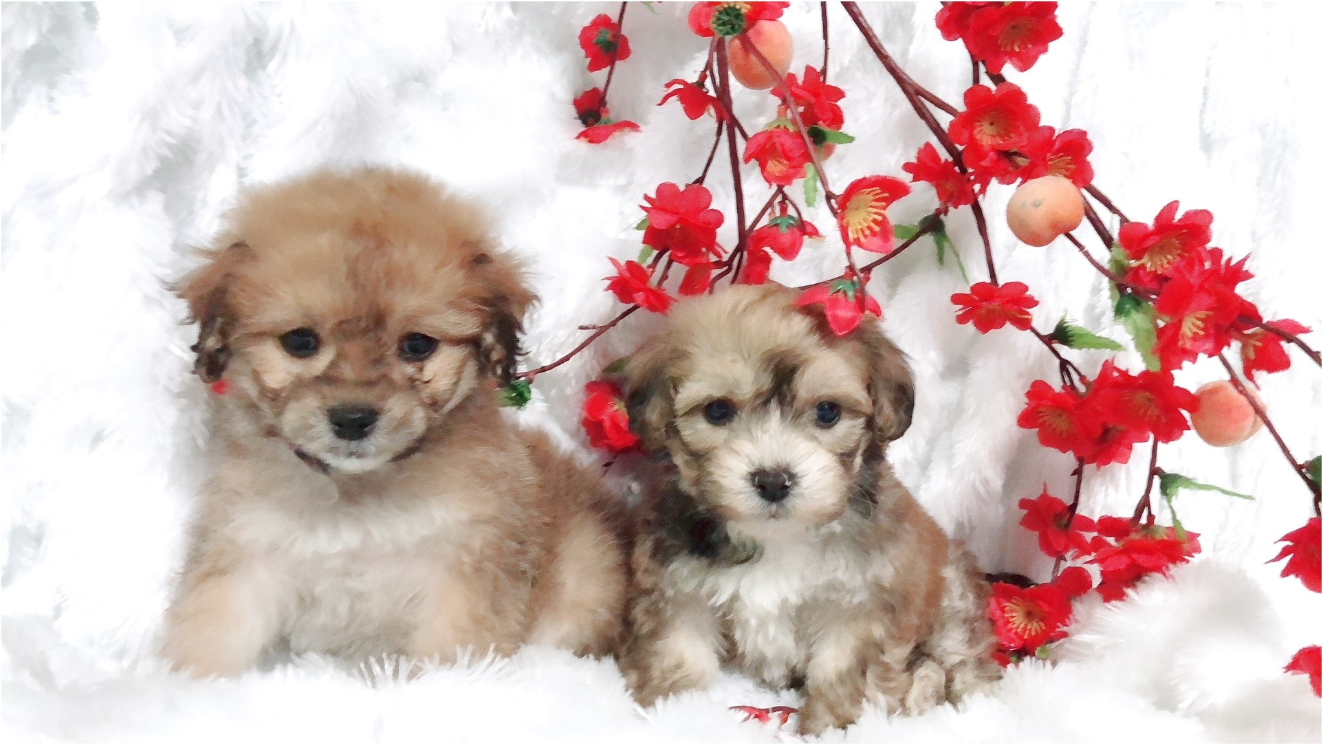maltese puppy for sale in san jose ca