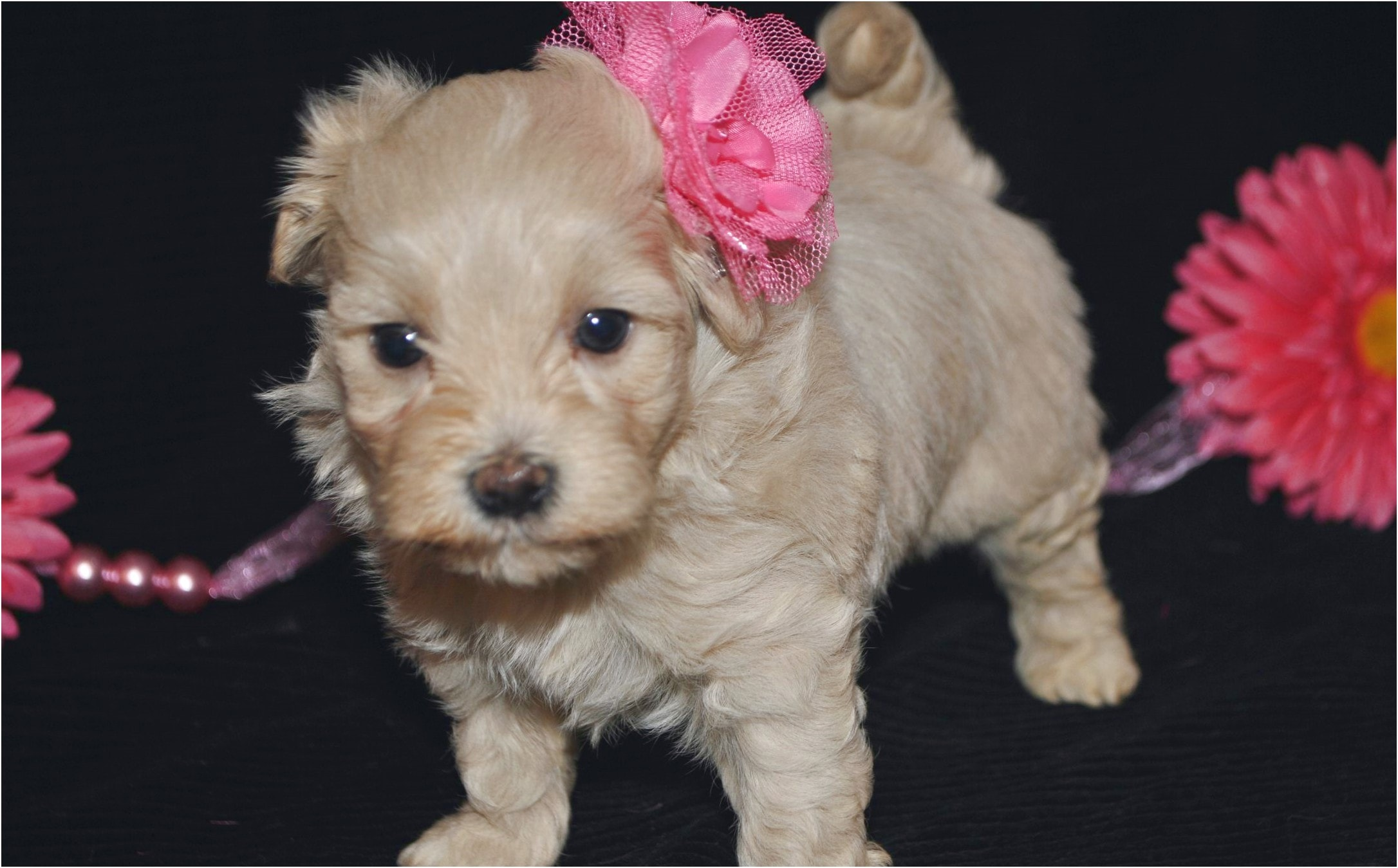 maltese puppy for sale raleigh nc