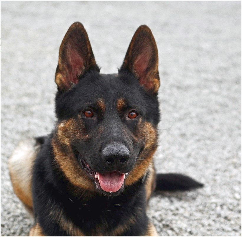 personal protection dog training delaware
