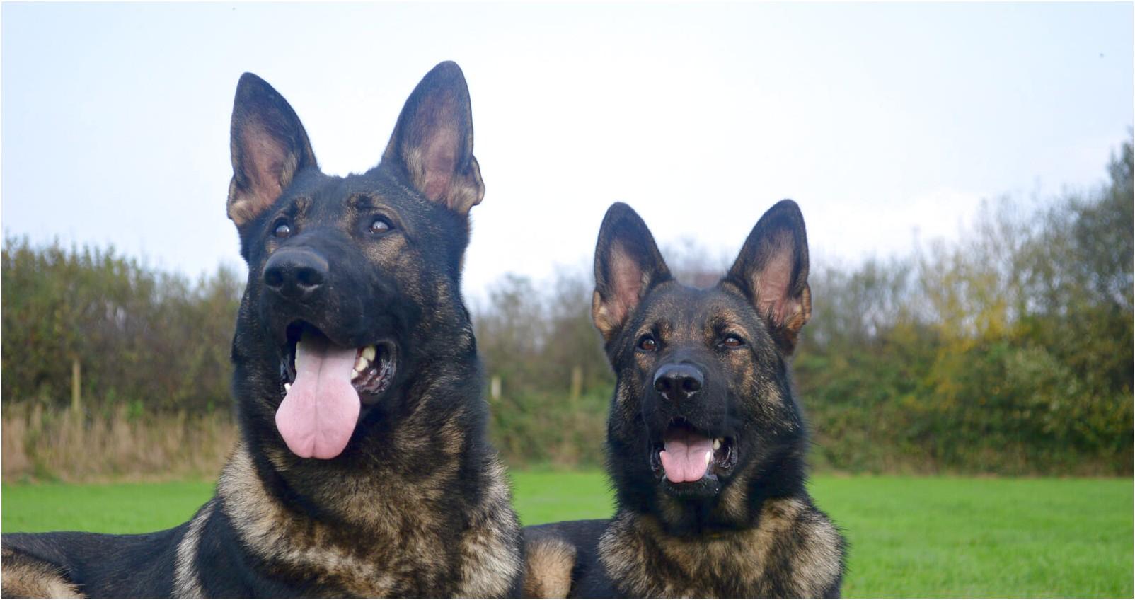personal protection dog training essex