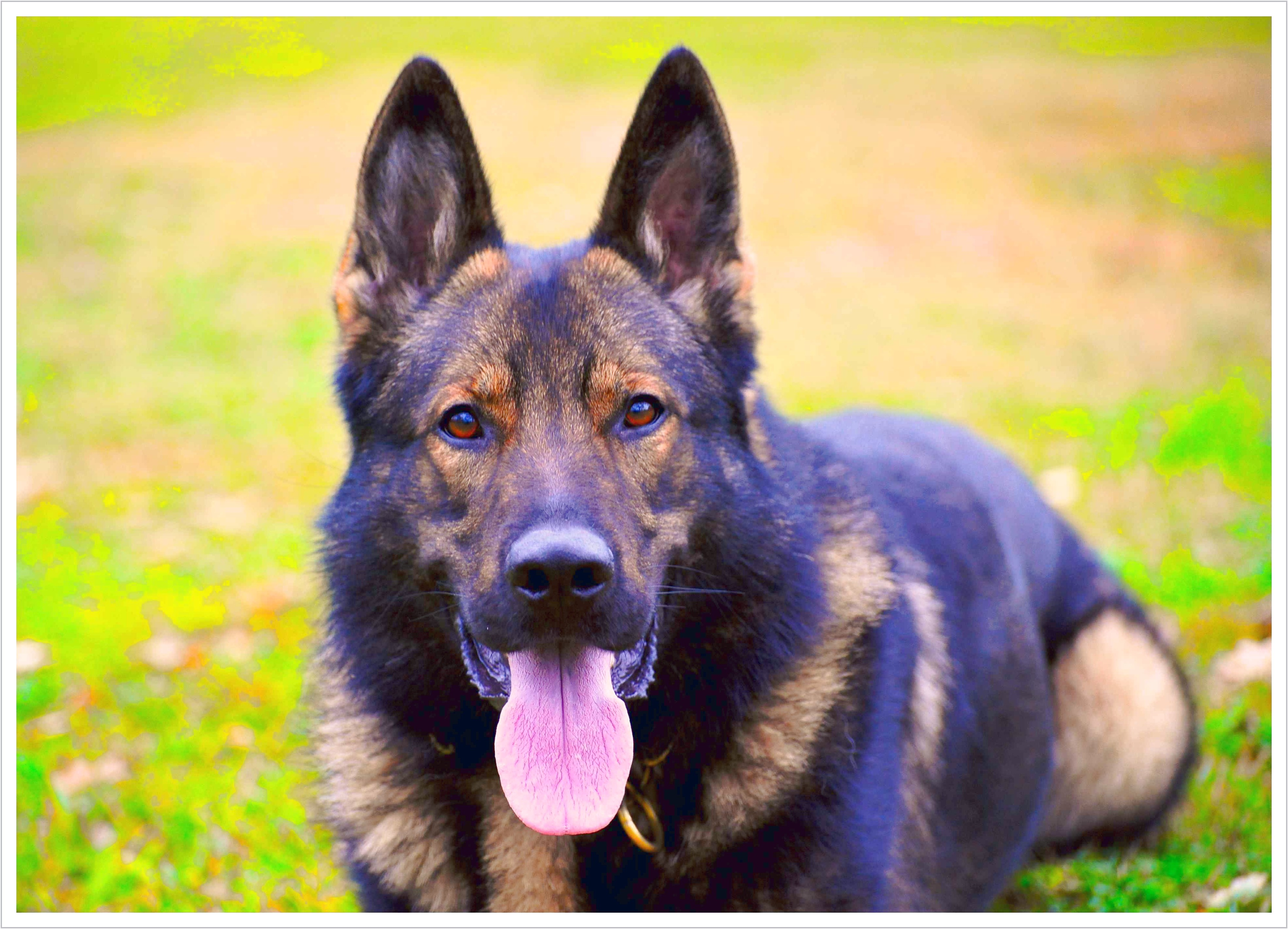 personal protection dog training reno nv